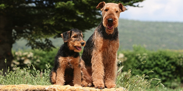 chien-airedale-terrier-Waterside-Terrier-chiot