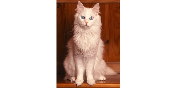 chat-angora-turc-turkish-assis