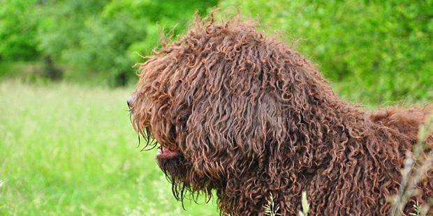 chien-barbet-marron