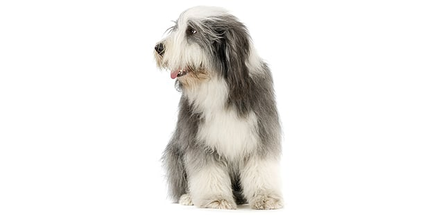 chien-bearded-collie-assis