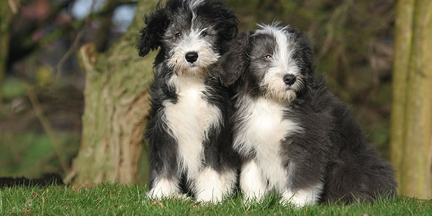 chien-bearded-collie-chiots-duo
