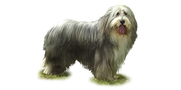 chien-bearded-collie