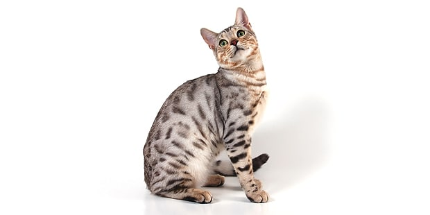 chat-bengal-bengali-assis