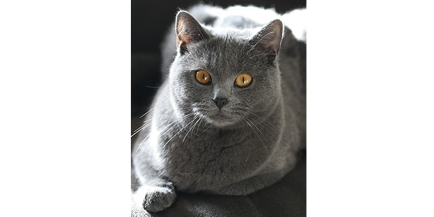 chat-chartreux-studio