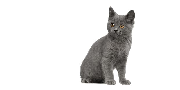chat-chartreux-chaton