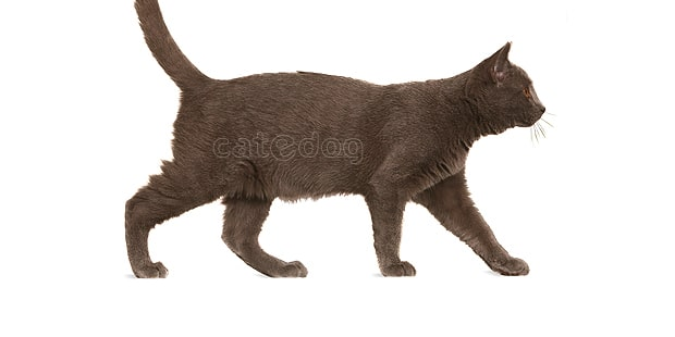 chat-chartreux