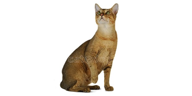 chat-chausie