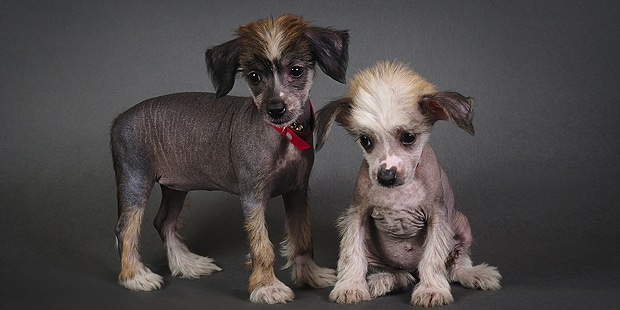 chien-chinois-a-crete-chiots