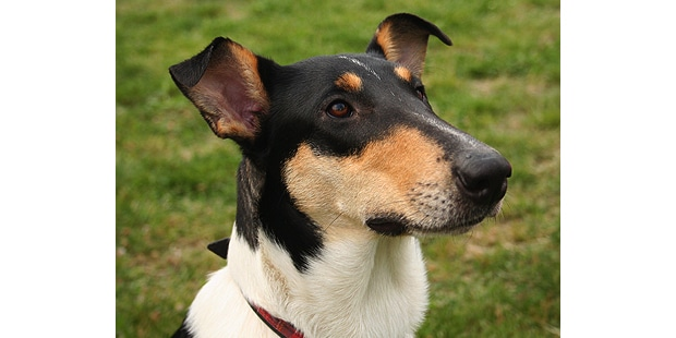 collie-poil-court-smooth-colley-portrait
