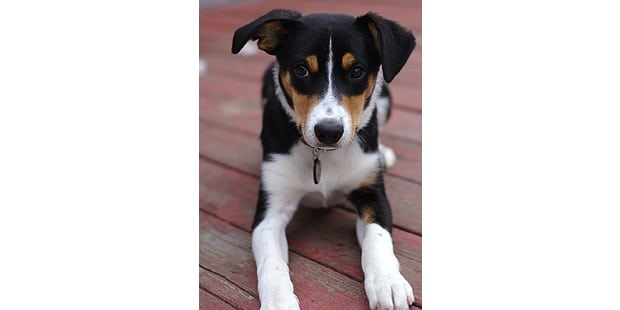 collie-poil-court-smooth-colley-chiot