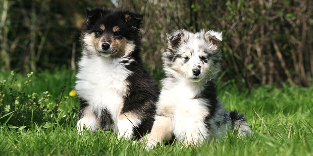 collie-poil-long-rough-colley-chiots