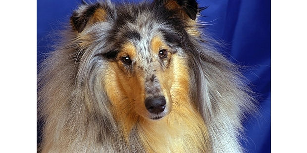 collie-poil-long-rough-colley-portrait