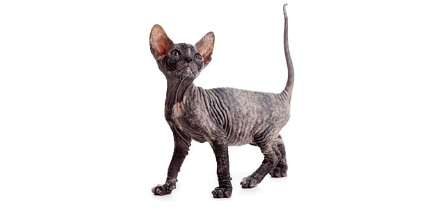 don-bald-cat-hairless-donskoy-studio