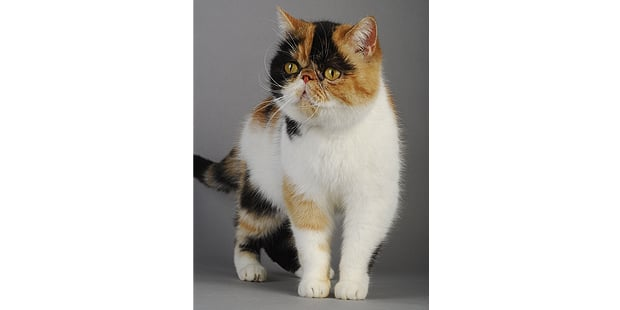 chat-exotic-shorthair-studio