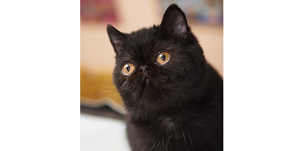 chat-exotic-shorthair-noir