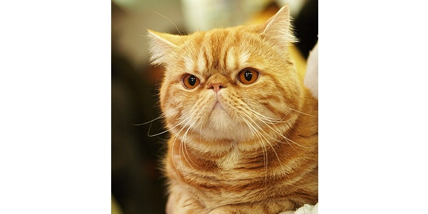 chat-exotic-shorthair-portrait