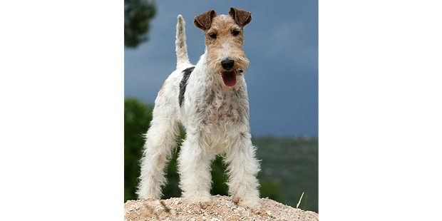 fox-terrier-poil-dur-wire-exterieur