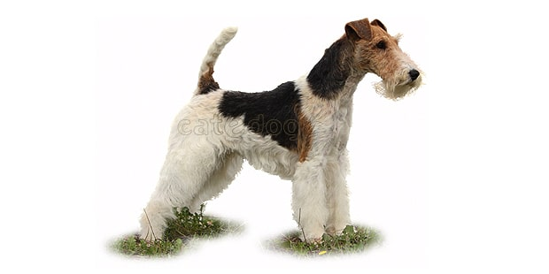 fox-terrier-poil-dur-wire