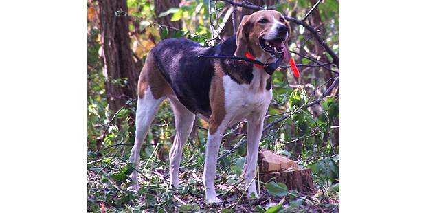 foxhound-americain-american-foret