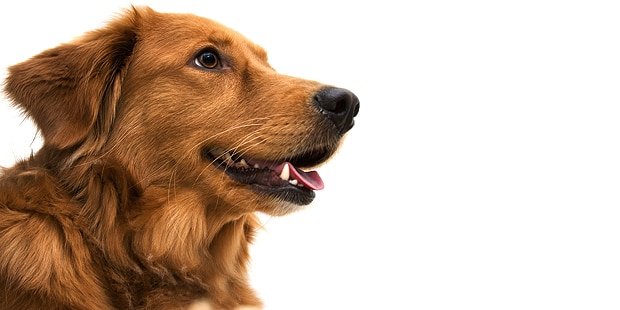 chien-golden-retriever-portrait-profil