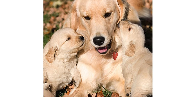 chien-golden-retriever-calin-chiots