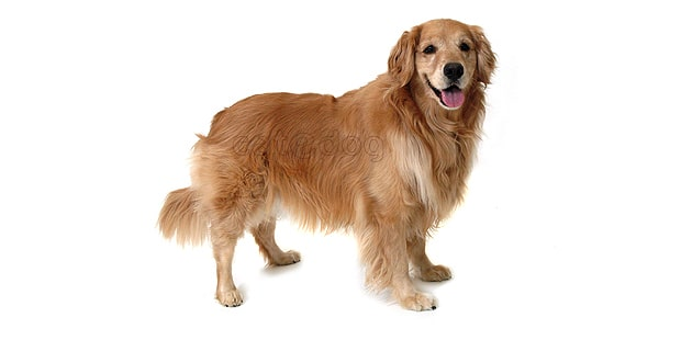 chien-golden-retriever