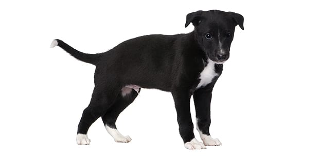chien-greyhound-levrier-anglais-chiot
