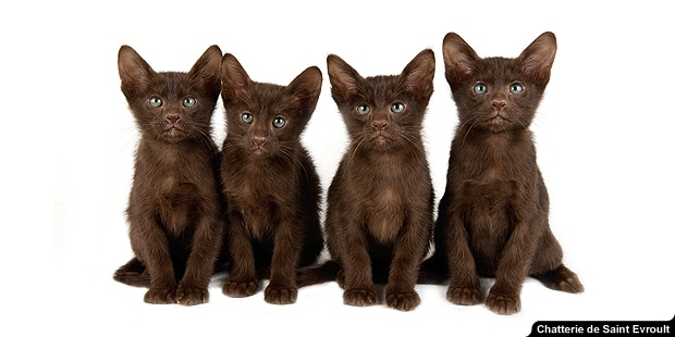 chat-havana-brown-chatons
