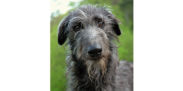 levrier-ecossais-anglais-Scottish-Deerhound-portrait
