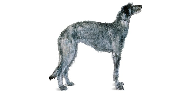 levrier-ecossais-anglais-Scottish-Deerhound
