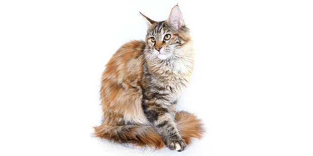 chat-maine-coon-assis