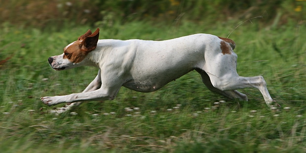 english-pointer-anglais-courir