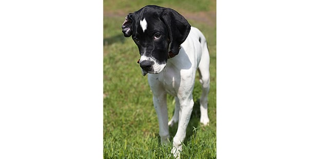 english-pointer-anglais-face