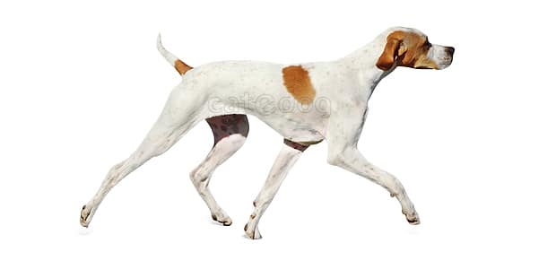 english-pointer-anglais