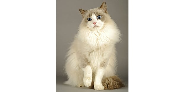 chat-ragdoll-assis