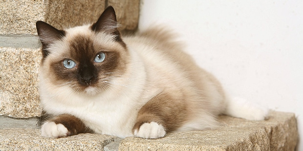 chat-ragdoll-couche