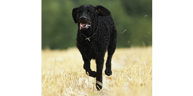 curly-coated-retriever-poil-boucle-courir