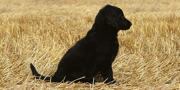 flat-coated-retriever-poil-plat-chiot