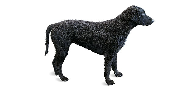 curly-coated-retriever-poil-boucle