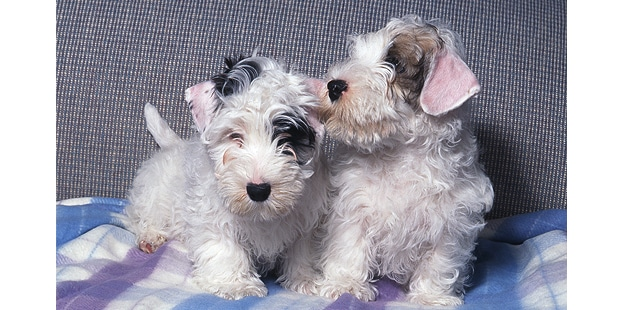 sealyham-terrier-chiots-duo
