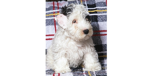 sealyham-terrier-chiot