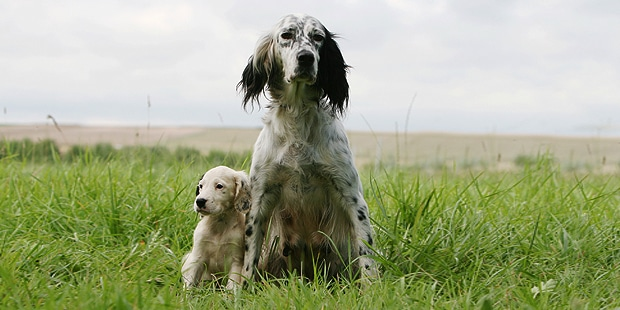 setter-anglais-english-chienne-chiot