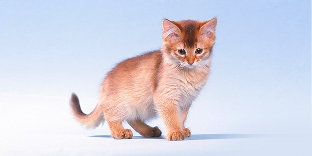 somali-abyssin-poil-long-chaton