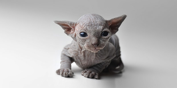 sphynx-chat-nu-chaton