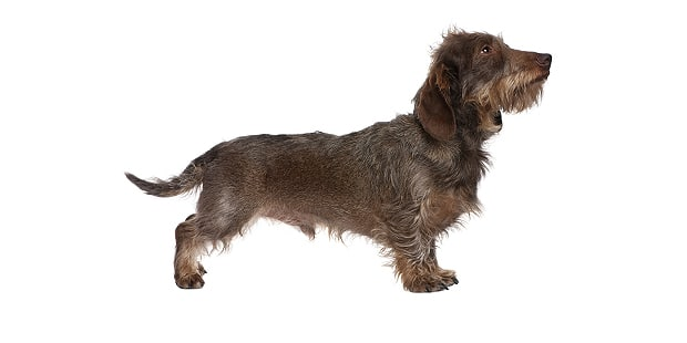 obesite-teckel-dachshund-photo
