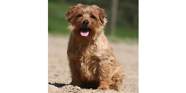terrier-de-norfolk-assis