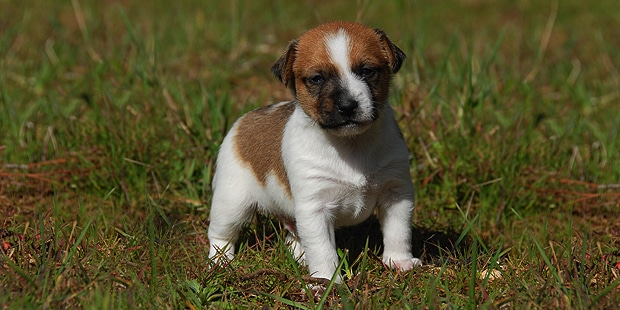 chien-jack-russel-terrier-chiot-champs