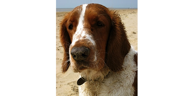 welsh-springer-spaniel-plage