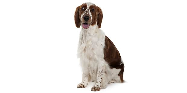 welsh-springer-spaniel-studio