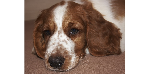 welsh-springer-spaniel-couche